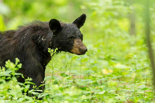 A black bear in Shenandoah National Park. (Photo: USNPS/Neal Lewis)
